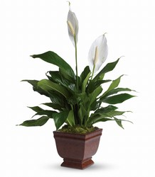 Teleflora's Lovely One Spathiphyllum Plant from Weidig's Floral in Chardon, OH