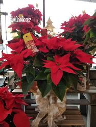 Poinsettia from Weidig's Floral in Chardon, OH